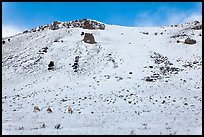 Snowy hill and bighorn sheep, National Elk Refuge. Jackson, Wyoming, USA ( color)