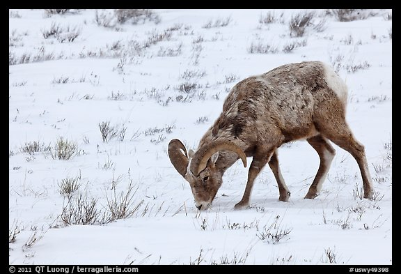 Bighorn sheep grazing on snow-covered slope. Jackson, Wyoming, USA (color)