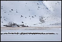 Large elk herd in the distance, National Elk Refuge. Jackson, Wyoming, USA ( color)