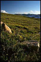 Summer alpine meadow and rocks, late afternoon, Beartooth Range, Shoshone National Forest. Wyoming, USA