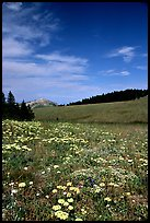 Wildflowers in alpine meadow, Bighorn Mountains, Bighorn National Forest. Wyoming, USA (color)