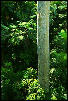 Tropical tree trunk, El Yunque, Carribean National Forest. Puerto Rico ( color)