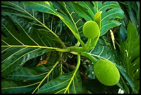 Tropical fruit and large leaves, El Yunque, Carribean National Forest. Puerto Rico (color)