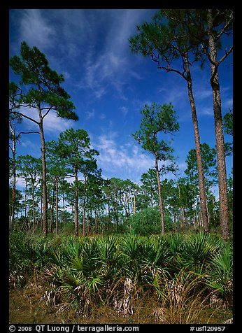 Palmeto and tall pine trees, Corkscrew Swamp. Corkscrew Swamp, Florida, USA (color)