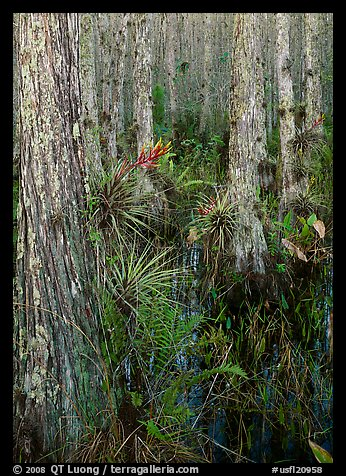 Bromeliads in cypress swamp, Corkscrew Swamp. USA (color)