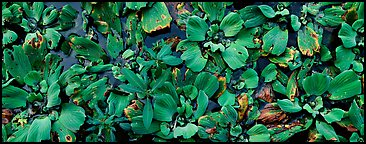 Swamp aquatic plants close-up. Corkscrew Swamp, Florida, USA (Panoramic color)