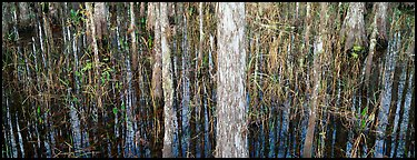 Swamp scenery with cypress. Corkscrew Swamp, Florida, USA (Panoramic color)