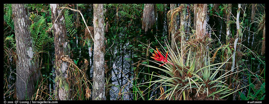 Bromeliad in swamp landscape. Corkscrew Swamp, Florida, USA (color)