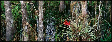 Bromeliad in swamp landscape. Corkscrew Swamp, Florida, USA (Panoramic color)