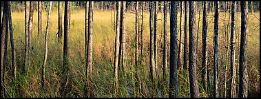 Landscape with trees and grasses. Corkscrew Swamp, Florida, USA (Panoramic color)