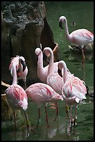Pink flamingos, Animal Kingdom Theme Park, Walt Disney World. Orlando, Florida, USA ( color)