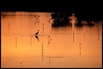 Bird at sunset among mangroves, Cudjoe Key. The Keys, Florida, USA ( color)
