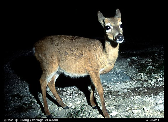 Endangered Key Deer at night, Big Pine Key. The Keys, Florida, USA (color)