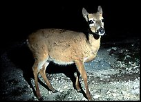 Endangered Key Deer at night, Big Pine Key. The Keys, Florida, USA