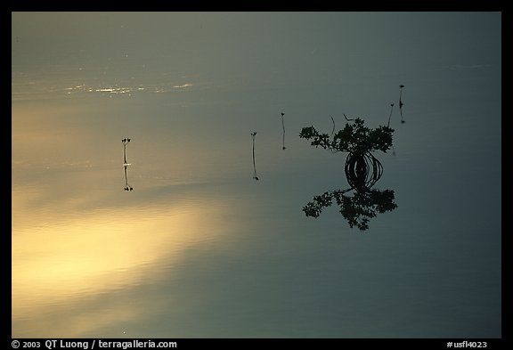 Lone mangrove. The Keys, Florida, USA (color)