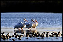 Pelicans dwarf other wading birds, Ding Darling NWR. Florida, USA (color)