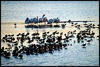 Large gathering of birds, Ding Darling National Wildlife Refuge, Sanibel Island. Florida, USA (color)