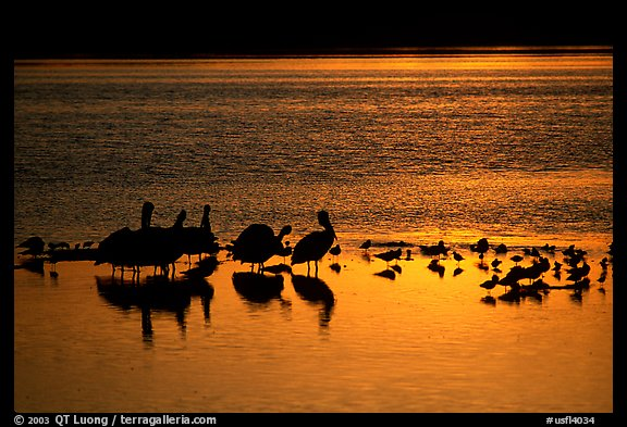 Pelicans and other birds at sunset, Ding Darling NWR, Sanibel Island. Florida, USA (color)