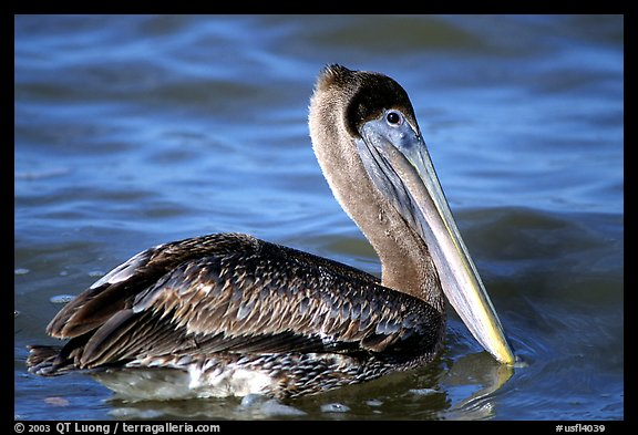 Pelican floating on water, Sanibel Island. Florida, USA (color)