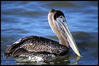 Pelican floating on water, Sanibel Island. Florida, USA ( color)