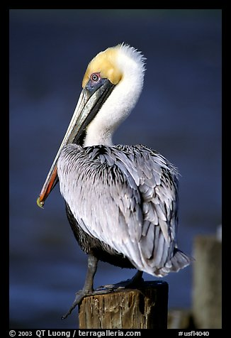 Pelican perched on pilar, Sanibel Island. Florida, USA (color)