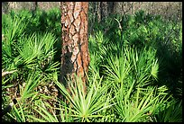 Pine trunk and palmeto. Corkscrew Swamp, Florida, USA ( color)