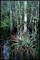 Bromeliads and cypress. Corkscrew Swamp, Florida, USA ( color)