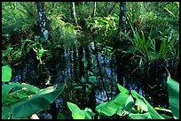 Water plants. Corkscrew Swamp, Florida, USA (color)