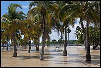 Flooded grove of palms and picnic table  Matheson Hammock Park. Coral Gables, Florida, USA ( color)