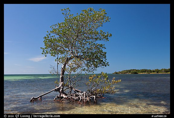 Red Mangrove growing in water, West Summerland Key. The Keys, Florida, USA (color)