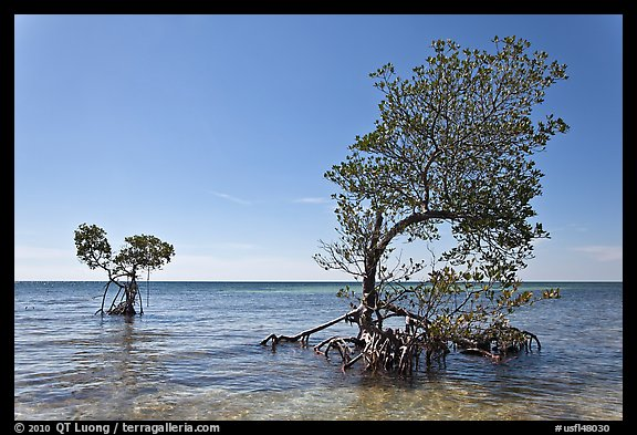 Two red mangrove trees, West Summerland Key. The Keys, Florida, USA (color)
