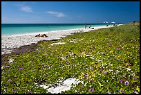 Dune vegetation, Sandspur Beach, Bahia Honda State Park. The Keys, Florida, USA ( color)