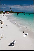 Seabirds, Sandspur Beach, Bahia Honda State Park. The Keys, Florida, USA ( color)