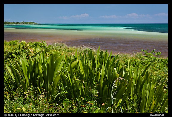 Plants and colorful Atlantic waters, Bahia Honda State Park. The Keys, Florida, USA (color)