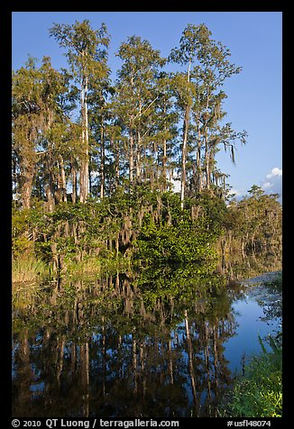 Cypress reflected in channel along Tamiami Trail, Big Cypress National Preserve. Florida, USA