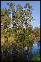 Cypress reflected in channel along Tamiami Trail, Big Cypress National Preserve. Florida, USA (color)