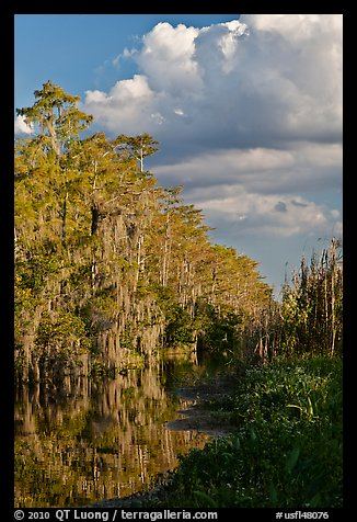 Bald Cypress and afternoon clouds, Big Cypress National Preserve. Florida, USA (color)