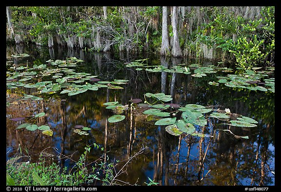 Aquatic plants and reflections, Big Cypress National Preserve. Florida, USA (color)