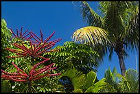Flowering Octopus tree and palms, Sanibel Island. Florida, USA ( color)