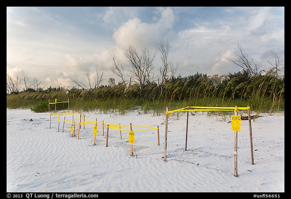 Sea turtle nestling area, Fort De Soto beach. Florida, USA (color)