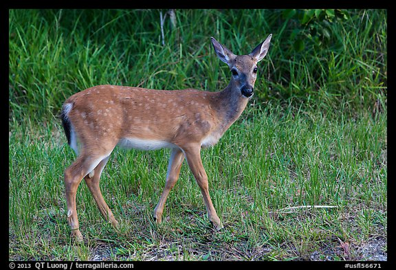 Key deer (Odocoileus virginianus clavium), Big Pine Key. The Keys, Florida, USA (color)