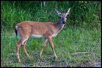 Key deer (Odocoileus virginianus clavium), Big Pine Key. The Keys, Florida, USA ( color)