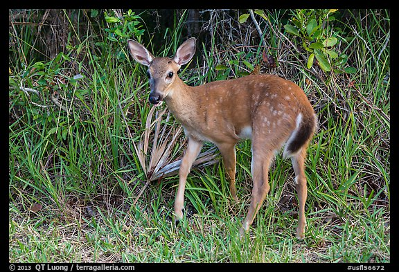 Endangered Key deer, Big Pine Key. The Keys, Florida, USA (color)