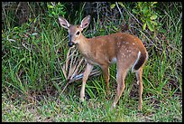 Endangered Key deer, Big Pine Key. The Keys, Florida, USA ( color)