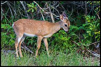 Key deer grazing at forest edge, Big Pine Key. The Keys, Florida, USA (color)