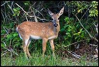 Endemic diminutive Key deer, Big Pine Key. The Keys, Florida, USA (color)