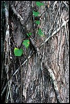 Strangler fig on tree trunk. Corkscrew Swamp, Florida, USA ( color)