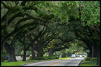 Road through tree tunnel. Coral Gables, Florida, USA ( color)