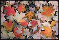 Fallen maple leaves. Georgia, USA