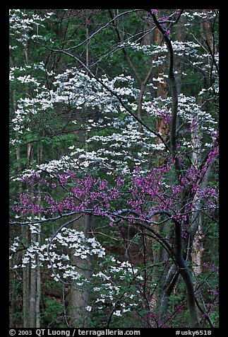 Redbud and Dogwood, Bernheim forest. Kentucky, USA (color)